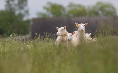 sommarlov i fårhagen