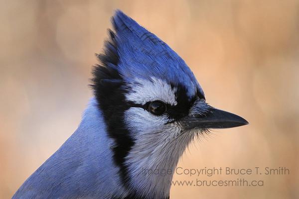 Blue jay closeup