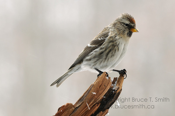 Female Redpoll on  a branch