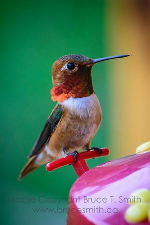 Rufous Hummingbird Closeup