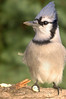 Blue Jay with a peanut