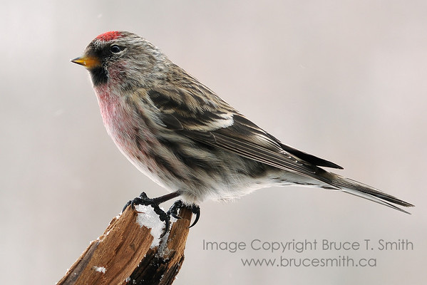 Male redpoll on a branch