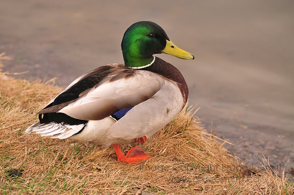 Beautiful Mallard Duck