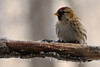 Female redpoll on a frosty branch
