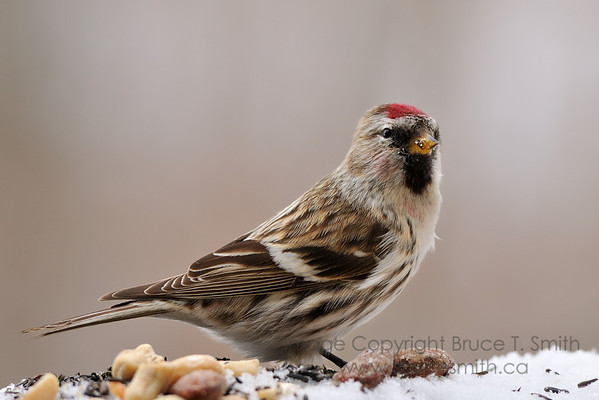 Female redpoll on the snow