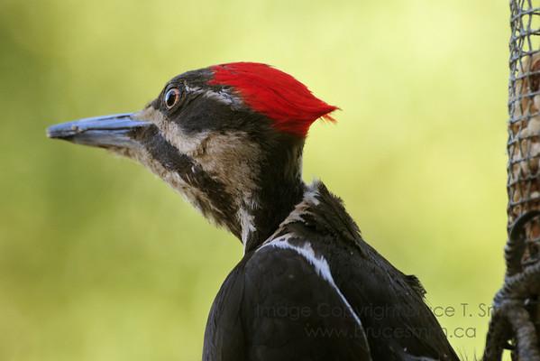 Female pileated woodpecker - amazing how far she can turn her head!