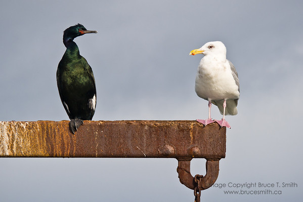 I took this shot in the harbour of Sidney, BC.  Seagulls and cormorants were sharing the various pilings near the shore, and I was able to get close enough to get some shots - these two seemed to be meeting!