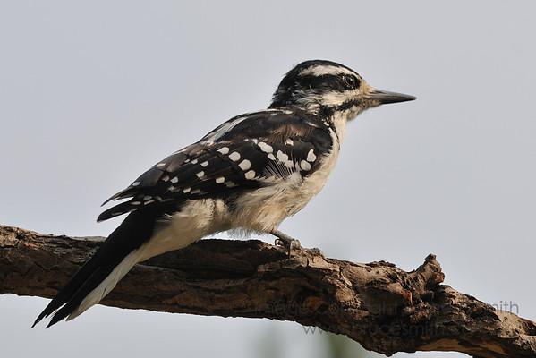 Female Hairly Woodpecker