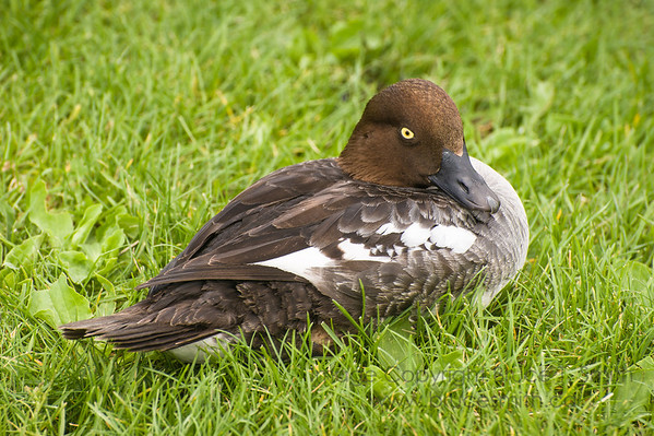 Female Common Goldeneye Duck