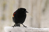 male red-winged blackbird on snow