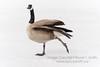 Prancing Goose