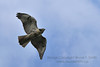 Hawk soaring overhead