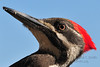 Closeup of a female pileated woodpecker