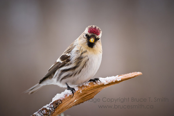 A close up view of a female Common Redpoll, perched on a branch in the winter.