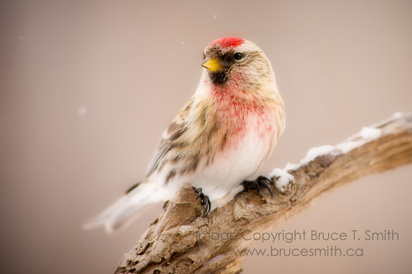 Male Common Redpoll in the winter snow.