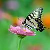 Saylorville Butterfly Garden 8-4-14 051