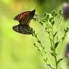 Saylorville Butterfly Garden 08-6-2016 070