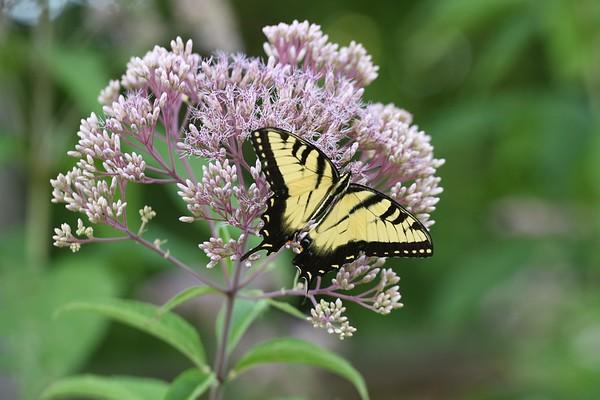 Saylorville Butterfly Garden 08-6-2016 020