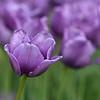 Pella Tulips 5-11-17 080