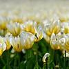 Pella Tulips 2014 068