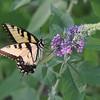 Saylorville Butterfly Garden 08-6-2016 059
