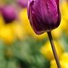 Pella Tulips 2014 037