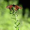 Saylorville Butterfly Garden 08-6-2016 069
