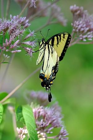 Saylorville Butterfly Garden 8-4-14 024