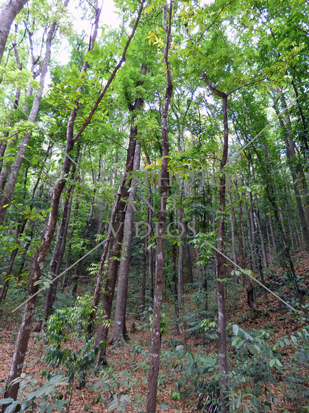 Mahogany trees along the man-made forest in Bohol island, Philippines.