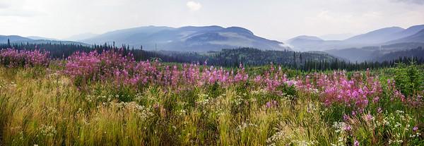 Fireweed Panorama