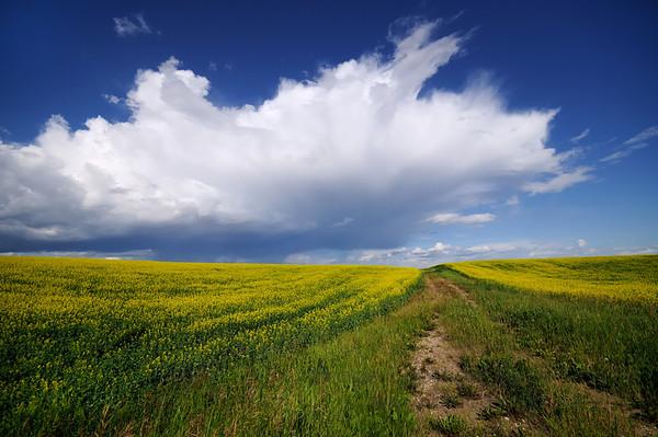 Blooming Canola field and big Alberta sky.