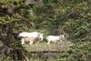 Mountain goats near Jasper Alberta