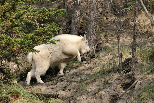 Mountain goat ascending a hillside near Jasper Alberta