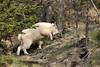 Mountain goat ascending a hillside near Jasper Alberta
