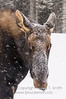 Moose closeup