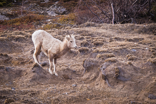 Young female Bighorn Sheep in early spring