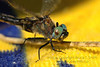 Dragonfly on a Yellow Towel