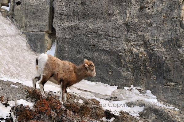 Rocky Mountain sheep crossing a cliff face near Jasper Alberta