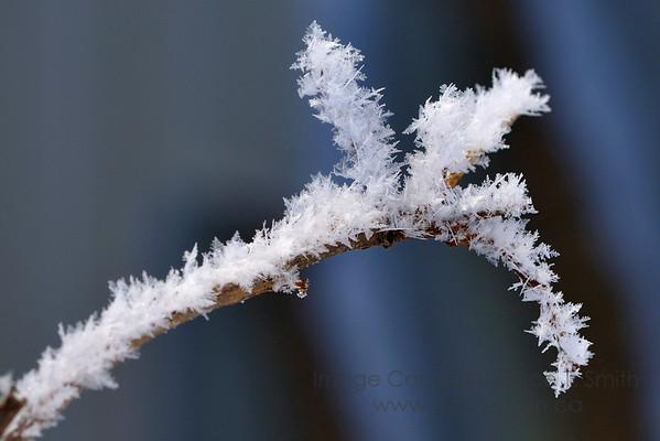 Heavy hoarfrost on an oak branch.