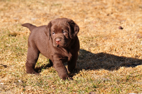 Cute 6-week old Chocolate Lab puppy at Traynors Labradors