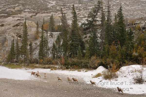 Rocky Mountain Bighorn Sheep in an autumn blizzard.<br /> <br /> There are a number of them up on the rocky hillside as well.