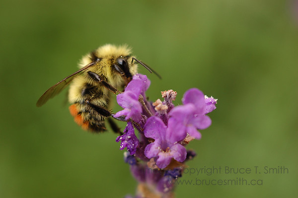 Honeybee on a purple flower