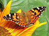 Beautiful Butterfly on a Sunflower Blossom