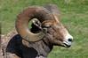 Rocky Mountain Bighorn Sheep up close