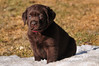 Cute 6-week old Chocolate Lab puppy in the spring snow at Traynors Labradors