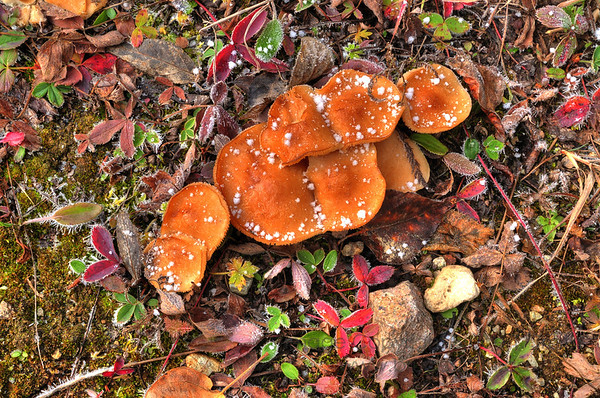 Mushrooms and frost on the forest floor