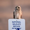 Short-eared Owl 2-5-2017 053