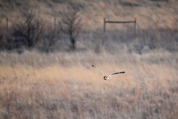 Short-eared Owl 2-5-2017 018