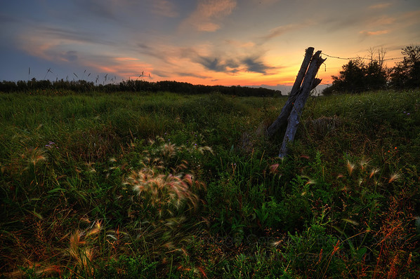 Field of foxtails and thistle at sunset