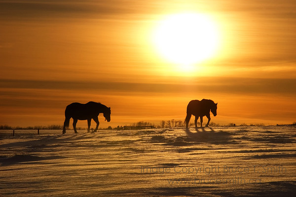 Horses Heading Home in the Winter